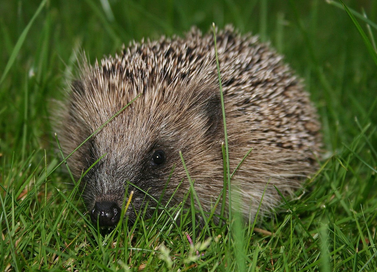 European_hedgehog_-Erinaceus_europaeus-