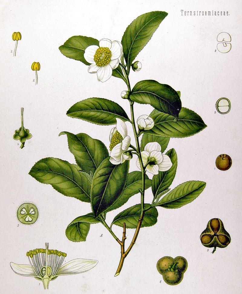 800px-Camellia_sinensis_-_K-hler-s_Medizinal-Pflanzen-025