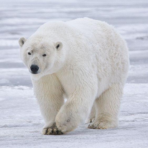 Polar_Bear_-Alaska-cropped-